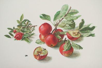 Carlos Riefel aepfel und Rose