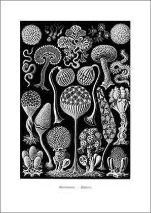 Erich Haeckel Mycetozoa Pilztiere Tafel 93 1899 1904