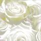 Montiel anne roses 2008 medium