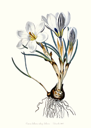Edwards Crocus Biflorus