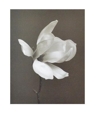 Charlie Hopkinson White Magnolia Flower
