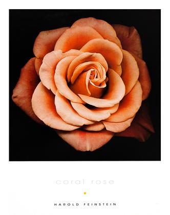 Harold Feinstein 4er Set 'Coral Rose' + 'Peach Rose' + 'Ivory Rose' + 'Cream Rose'