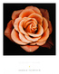 Harold Feinstein 4er Set 'Coral Rose' + 'Peach Rose' + 'Ivory Rose' + 'Cream Rose'