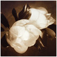 Richard Gaskins Magnolia Grandiflora