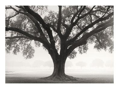 William Guion Silhouette Oak