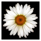 Feinstein harold shasta daisy medium
