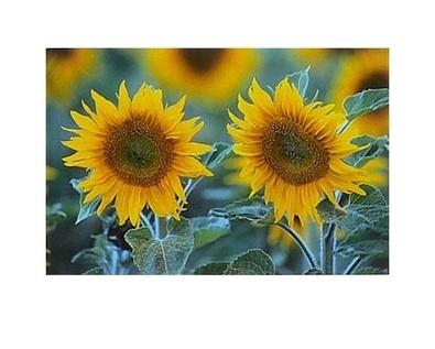 Martina Schroeder o. T. (Sonnenblumen)
