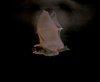 Merlin D. Tuttle Myotis Lucifugus (Fledermaus)