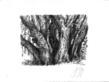 Guenter Grass Buchengruppe