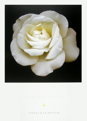 Harold Feinstein Cream Rose