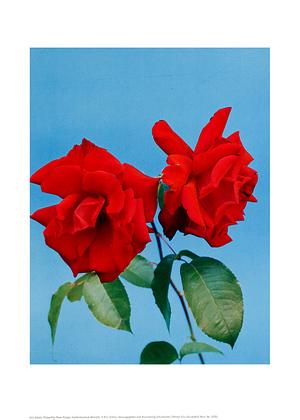 Scholz kris polyantha rose purpur large