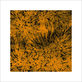 Polla davide grass orange 2011 56373 medium