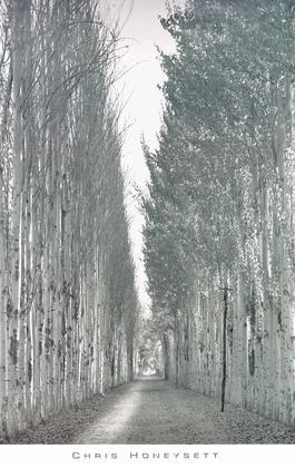 Chris Honeysett Poplars 2, Kashgar