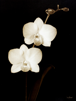 Julie Greenwood 4er Set 'Ebony Orchid I - IV'