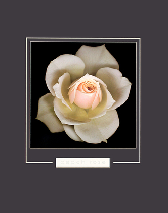 Harold Feinstein Peach Rose