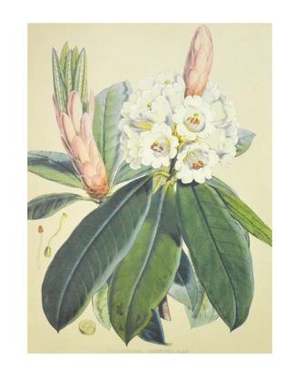 J.D. Hooker Rhododendron Argenteum