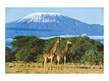 Daryl Balfour Giraffen am Kilimandjaro