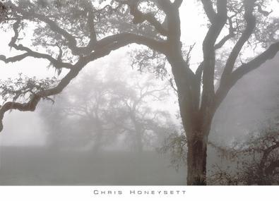 Chris Honeysett Eichen im Nebel, Mendocino