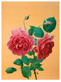 Scholz kris rose rosa vor orange medium