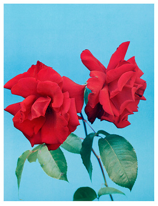 Kris Scholz Polyantha Rose Purpur (42x55cm)