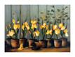 De villeneuve fabrice iris jaunes medium