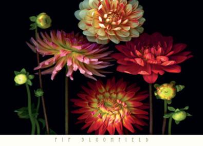 Pip Bloomfield Dahlia Garden