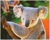 Aaron Chung Koala