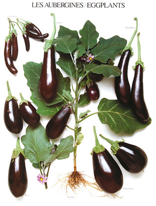 Roger Phillips Les Aubergines / Eggplants / Auberginen