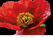 Veralli amalia elena red poppy medium