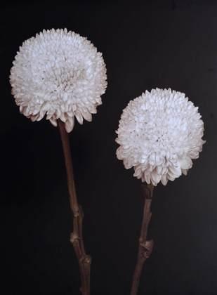 Prades Fabregat Bora Bora Flower IV