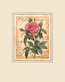 Redoute pierre joseph great royal rose medium