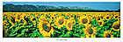 Martin raget tournesol 38743 medium