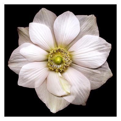 Harold Feinstein Garden Anemone