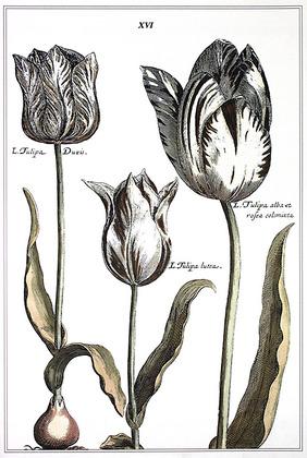 Crispijn de Passe Elephant Tulips