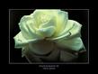 True Redd Rose